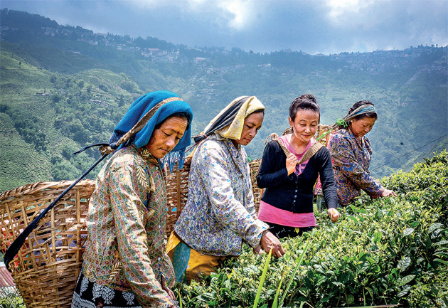 Darjeeling's tea gardens employ about 57,000 permanent workers